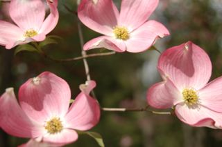 photo of bright pink dogwood tree in valley forge naturiaonl park