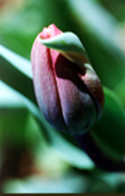 Beautiful tulip with red, purples and green tones taken by Dr. Doris Jeanette.